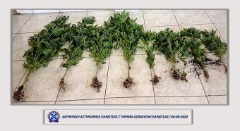 Καρδιτσιώτες καλλιεργούσαν δενδρύλλια κάνναβης σε λαχανόκηπο - Δύο συλλήψεις